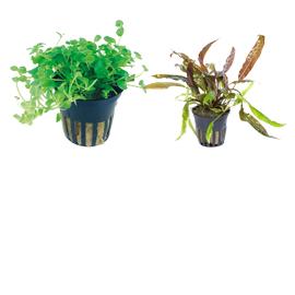 Augalai vazonėliuose