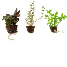 Augalai mini vazonėliuose