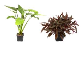 XL augalai vazonėliuose